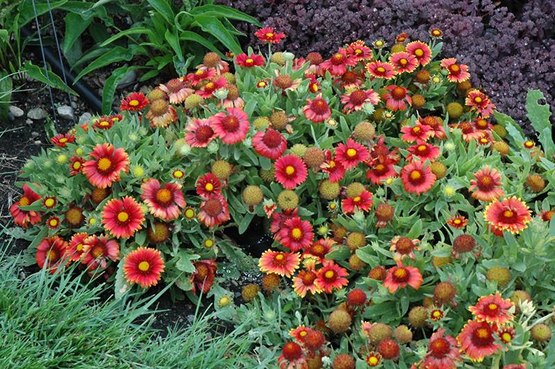 Arizona Red Shades Blanket Flower (Gaillardia x grandiflora 'Arizona Red Shades') at Wolf Hill Home & Garden