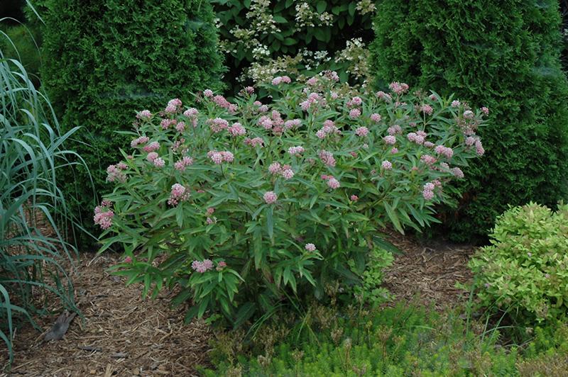 Cinderella Milkweed (Asclepias incarnata 'Cinderella') at Wolf Hill Home & Garden