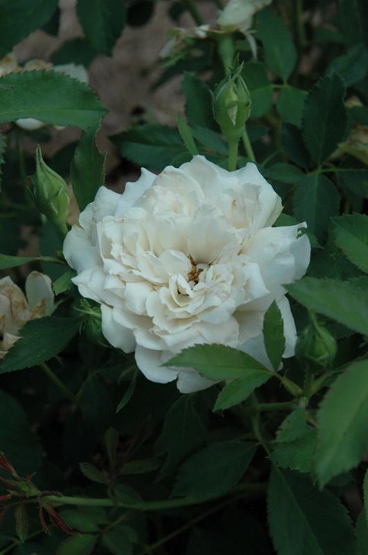 Icecap Rose (Rosa 'Meiradena') at Wolf Hill Home & Garden