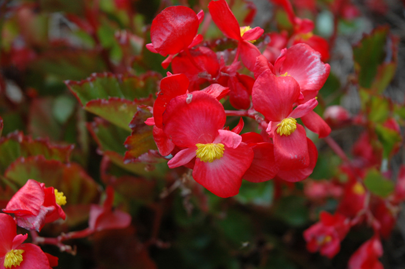 BabyWing Red Begonia (Begonia 'BabyWing Red') at Wolf Hill Home & Garden