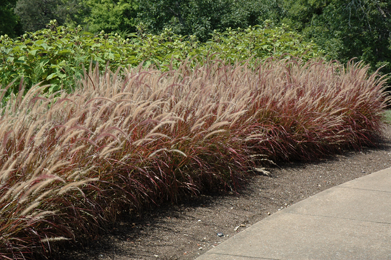 Purple Fountain Grass (Pennisetum setaceum 'Rubrum') at Wolf Hill Home & Garden