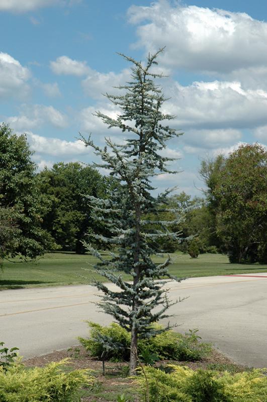 Blue Atlas Cedar (Cedrus atlantica 'Glauca') at Wolf Hill Home & Garden