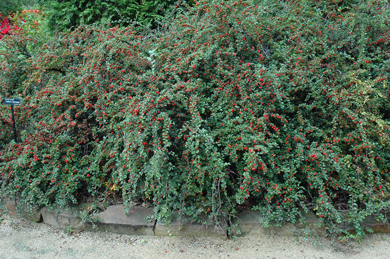 Cranberry Cotoneaster (Cotoneaster apiculatus) at Wolf Hill Home & Garden