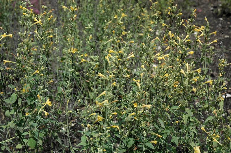 Sunset Yellow Hyssop (Agastache aurantiaca 'Sunset Yellow') at Wolf Hill Home & Garden