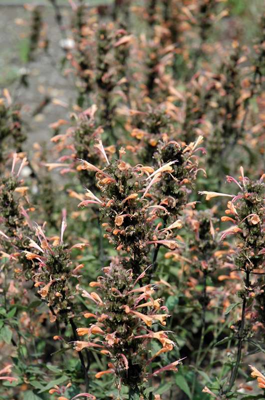 Summer Sunset Hyssop (Agastache 'Summer Sunset') at Wolf Hill Home & Garden