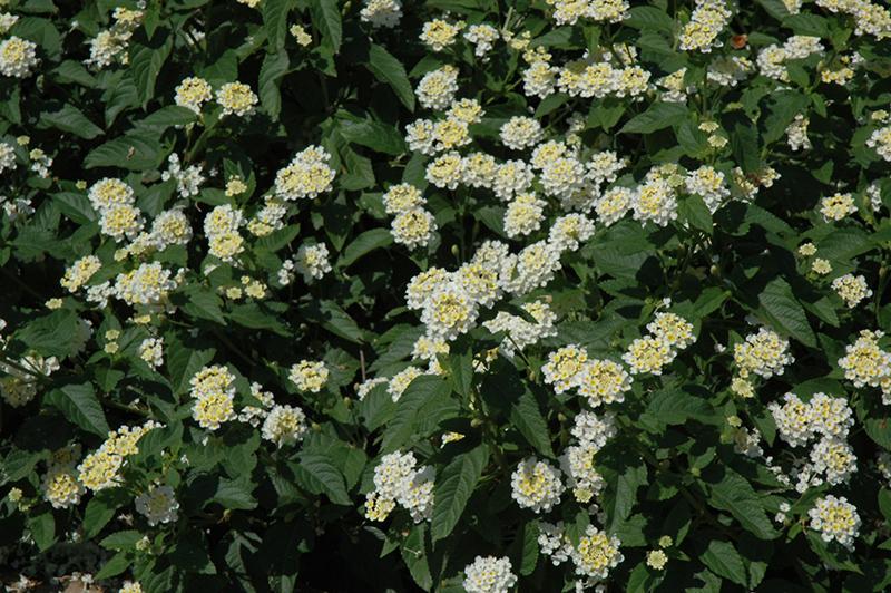 Lucky White Lantana (Lantana camara 'Lucky White') at Wolf Hill Home & Garden