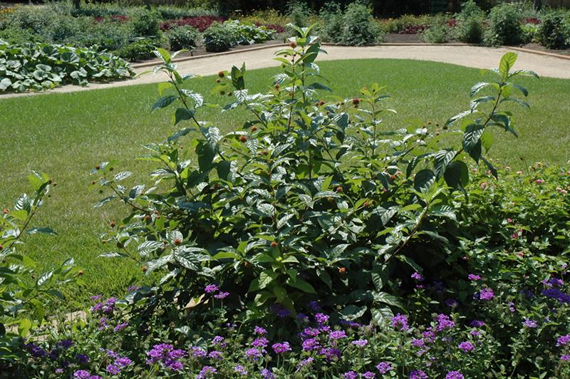 Button Bush (Cephalanthus occidentalis) at Wolf Hill Home & Garden