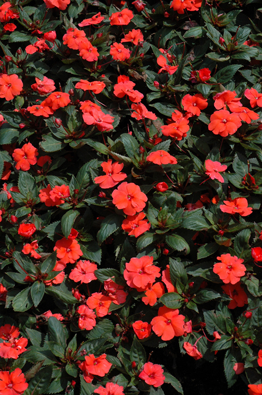 SunPatiens Compact Hot Coral New Guinea Impatiens (Impatiens 'SunPatiens Compact Hot Coral') at Wolf Hill Home & Garden