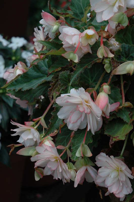 Miss Montreal Begonia (Begonia 'Miss Montreal') at Wolf Hill Home & Garden