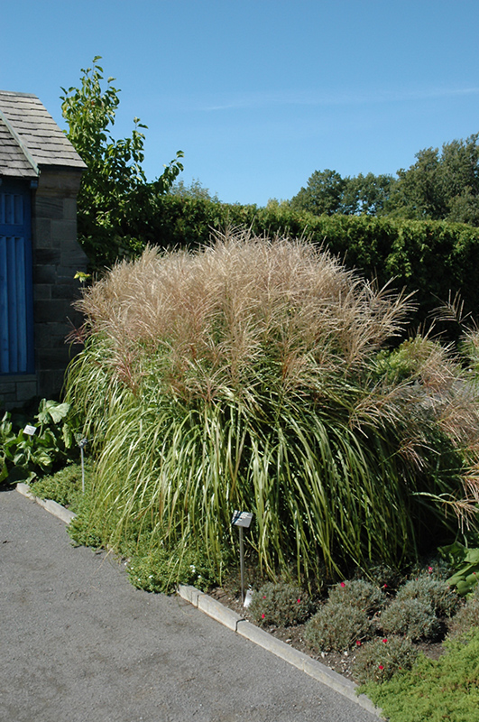 Huron Sunrise Maiden Grass (Miscanthus sinensis 'Huron Sunrise') at Wolf Hill Home & Garden