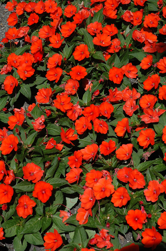 SunPatiens Compact Electric Orange New Guinea Impatiens (Impatiens 'SunPatiens Compact Electric Orange') at Wolf Hill Home & Garden