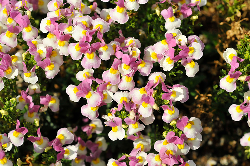 Escential Pinkberry Nemesia (Nemesia 'Escential Pinkberry') at Wolf Hill Home & Garden