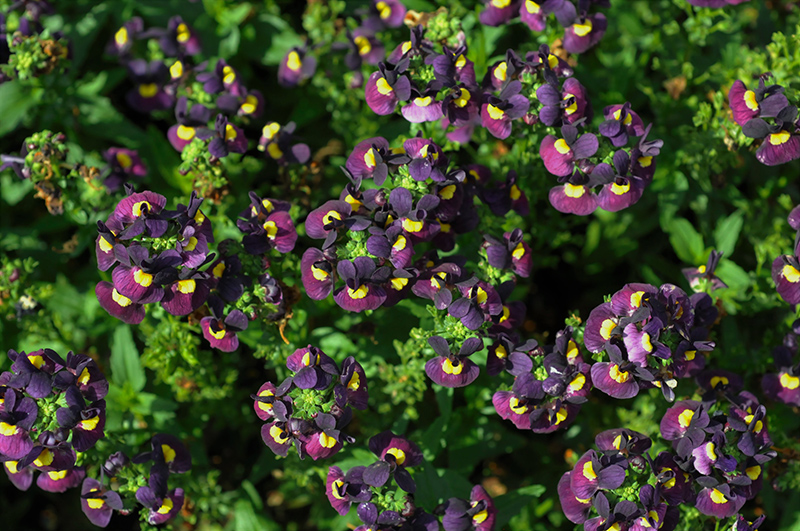 Escential Sugarberry Nemesia (Nemesia 'Escential Sugarberry') at Wolf Hill Home & Garden