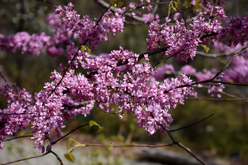 Hearts of Gold Redbud (Cercis canadensis 'Hearts of Gold') at Wolf Hill Home & Garden