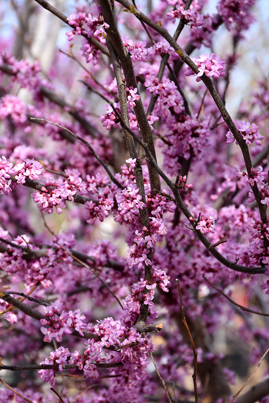 Ace Of Hearts Redbud (Cercis canadensis 'Ace Of Hearts') at Wolf Hill Home & Garden