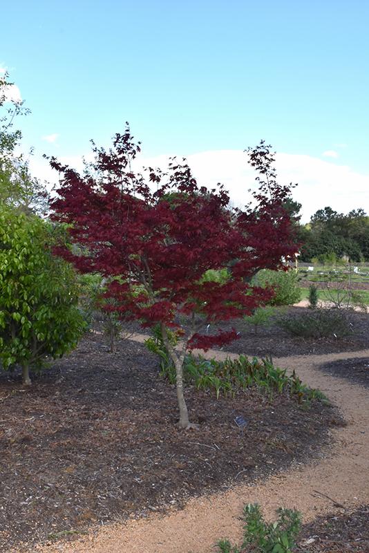Yubae Japanese Maple (Acer palmatum 'Yubae') at Wolf Hill Home & Garden