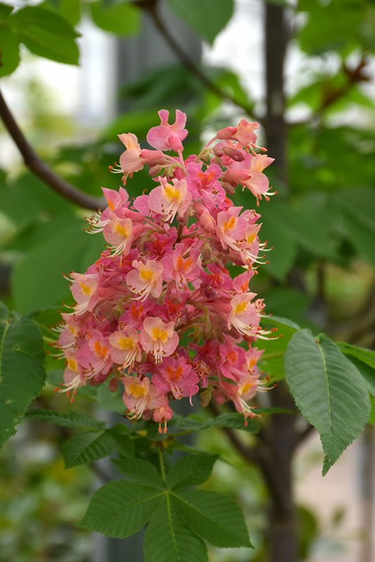 Fort McNair Red Horse Chestnut (Aesculus x carnea 'Fort McNair') at Wolf Hill Home & Garden