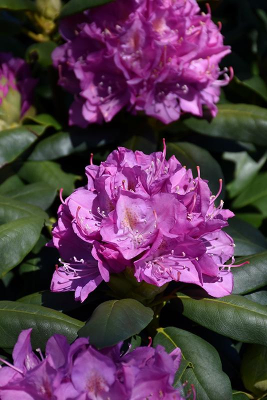 Roseum Elegans Rhododendron (Rhododendron catawbiense 'Roseum Elegans') at Wolf Hill Home & Garden