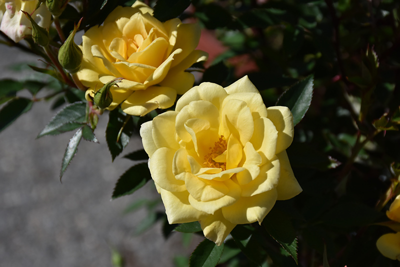 Yellow Sunblaze Rose (Rosa 'Meiskaille') at Wolf Hill Home & Garden