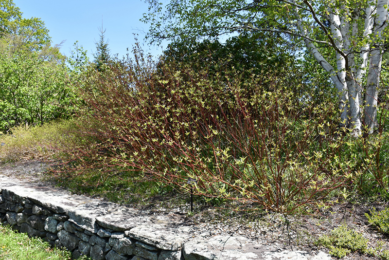 Bailey's Red Twig Dogwood (Cornus sericea 'Baileyi') at Wolf Hill Home & Garden