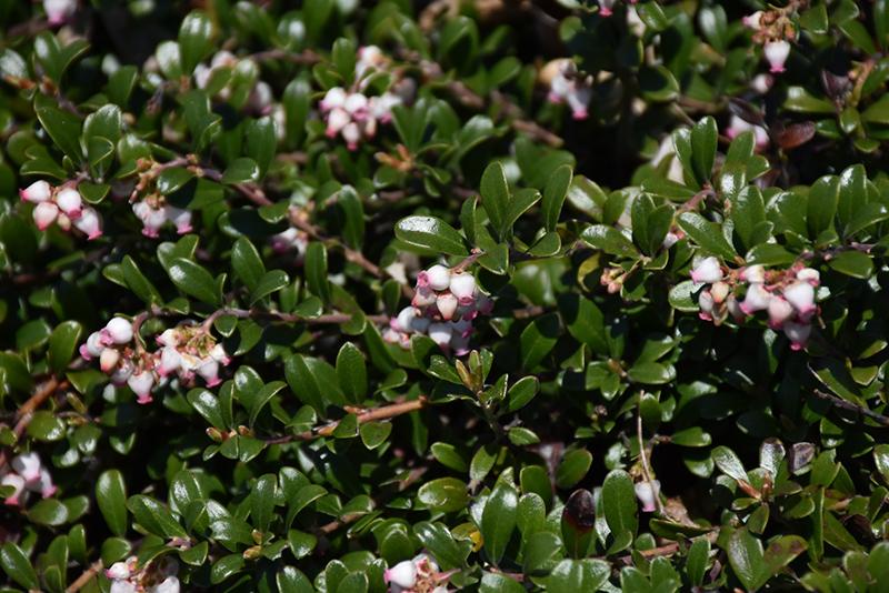 Bearberry (Arctostaphylos uva-ursi) at Wolf Hill Home & Garden