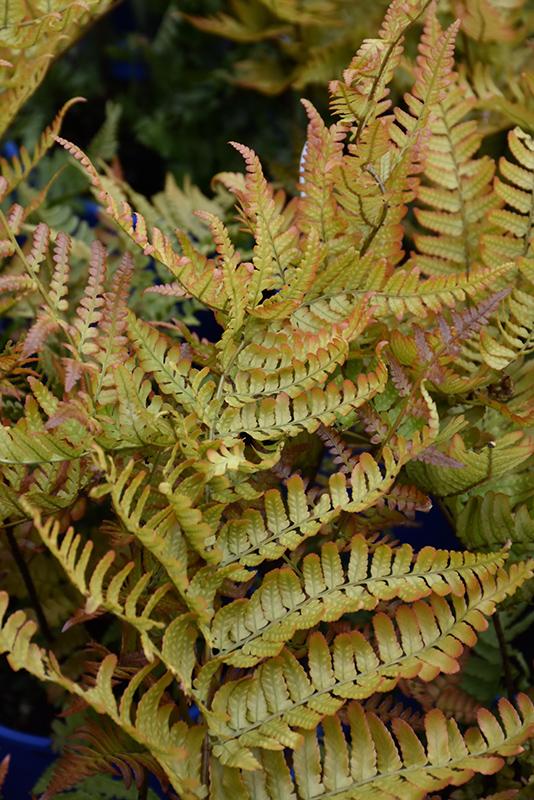 Brilliance Autumn Fern (Dryopteris erythrosora 'Brilliance') at Wolf Hill Home & Garden