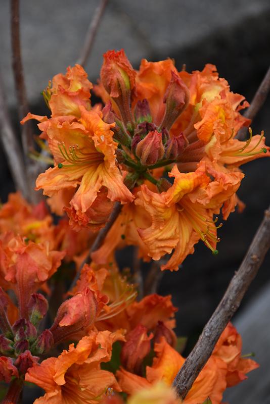 Gibraltar Azalea (Rhododendron 'Gibraltar') at Wolf Hill Home & Garden