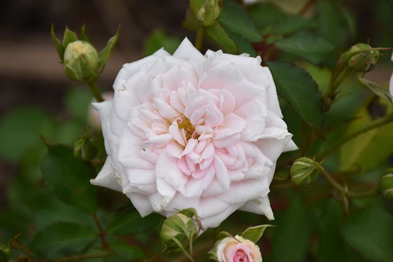 White Drift Rose (Rosa 'Meizorland') at Wolf Hill Home & Garden