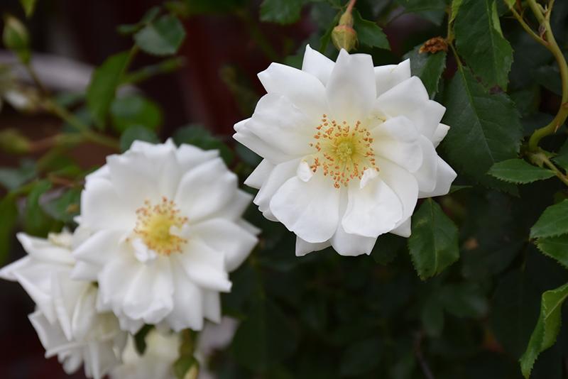 Flower Carpet White Rose (Rosa 'Flower Carpet White') at Wolf Hill Home & Garden