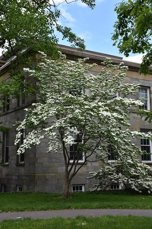 Celestial Flowering Dogwood (Cornus 'Rutdan') at Wolf Hill Home & Garden