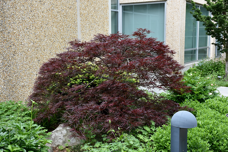 Red Dragon Japanese Maple (Acer palmatum 'Red Dragon') at Wolf Hill Home & Garden