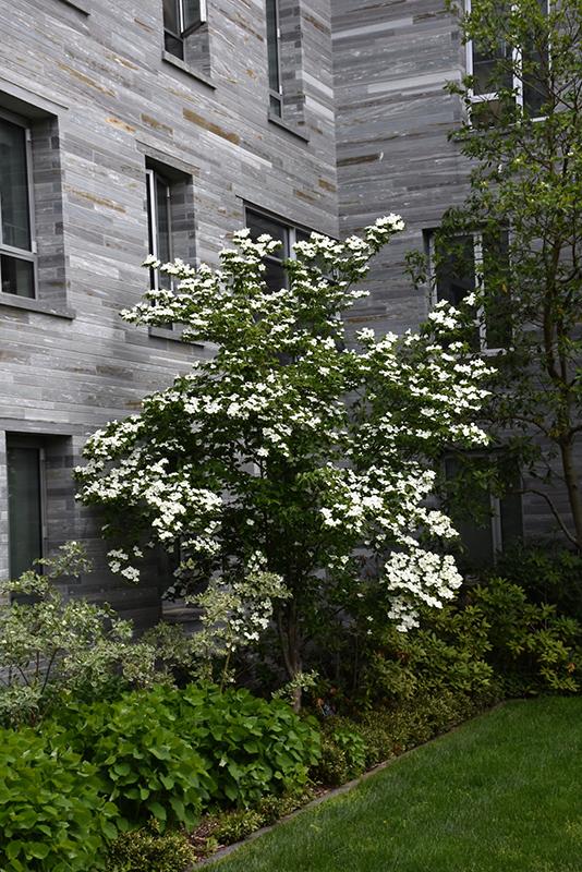 Constellation Flowering Dogwood (Cornus 'Constellation') at Wolf Hill Home & Garden