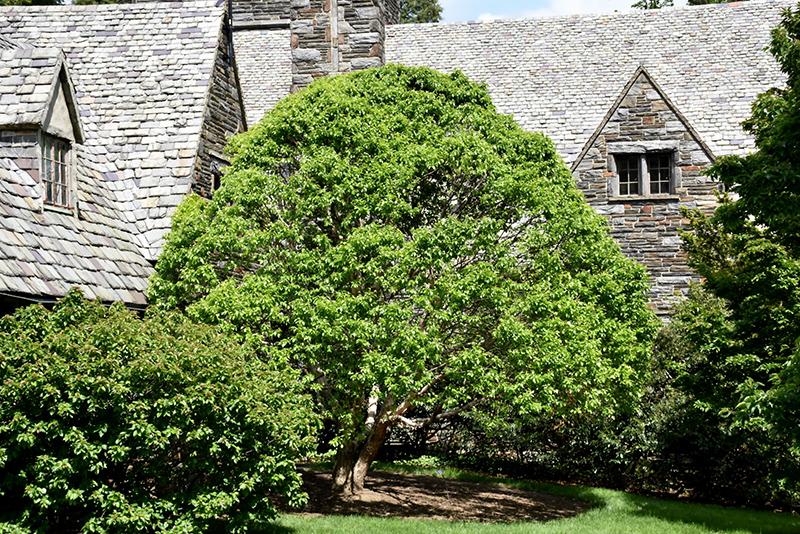 Fox Valley River Birch (Betula nigra 'Little King') at Wolf Hill Home & Garden