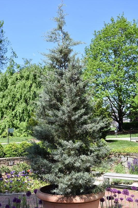 Blue Ice Smooth Arizona Cypress (Cupressus arizonica 'Blue Ice') at Wolf Hill Home & Garden
