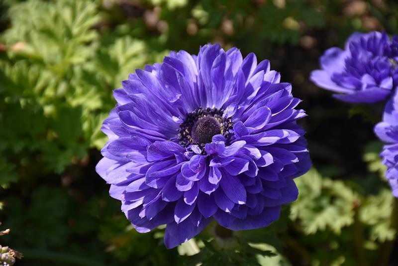 Blue Pandora Double Windflower (Anemone coronaria 'Blue Pandora Double') at Wolf Hill Home & Garden