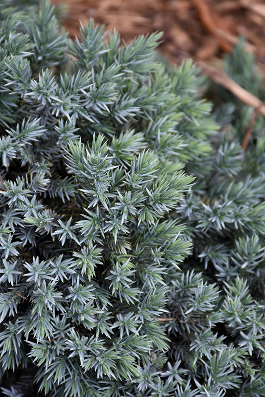 Blue Star Juniper (Juniperus squamata 'Blue Star') at Wolf Hill Home & Garden