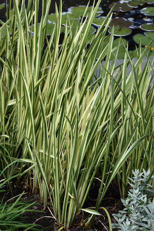 Variegated Sweet Flag (Acorus calamus 'Variegatus') at Wolf Hill Home & Garden