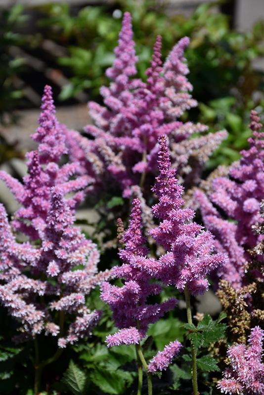 Little Vision In Purple Chinese Astilbe (Astilbe chinensis 'Little Vision In Purple') at Wolf Hill Home & Garden