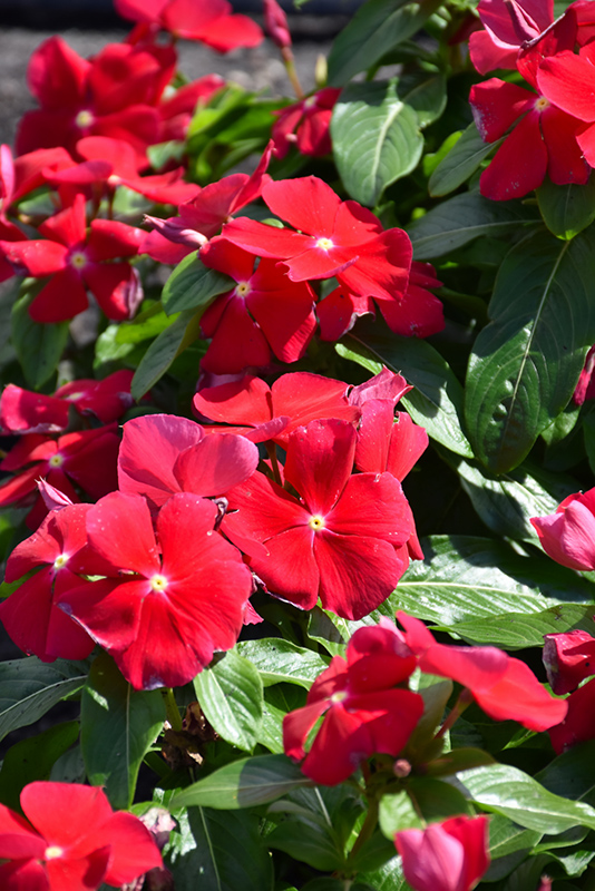 Titan Really Red Vinca (Catharanthus roseus 'Titan Really Red') at Wolf Hill Home & Garden