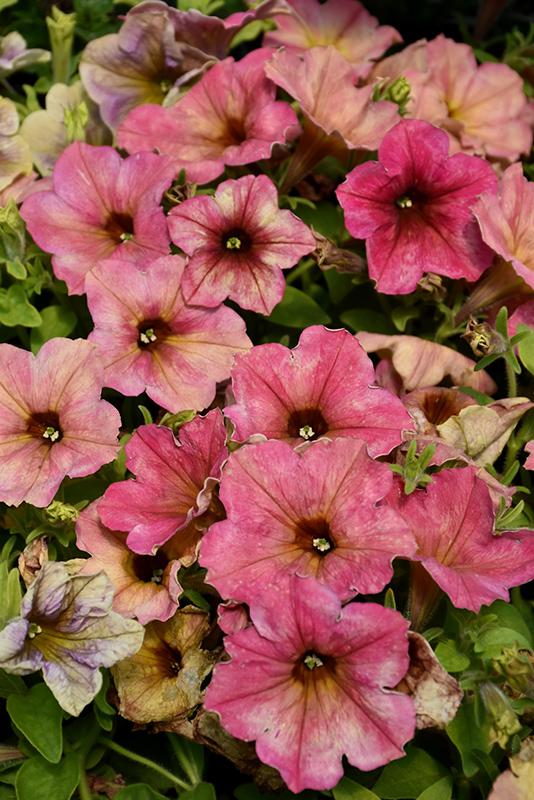 Crazytunia Terracotta Petunia (Petunia 'Crazytunia Terracotta') at Wolf Hill Home & Garden