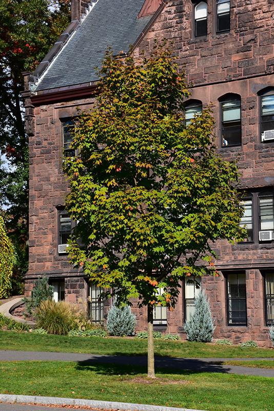 Green Mountain Sugar Maple (Acer saccharum 'Green Mountain') at Wolf Hill Home & Garden