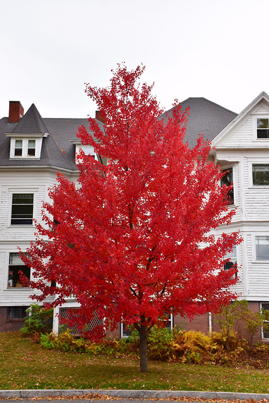 Sun Valley Red Maple (Acer rubrum 'Sun Valley') at Wolf Hill Home & Garden