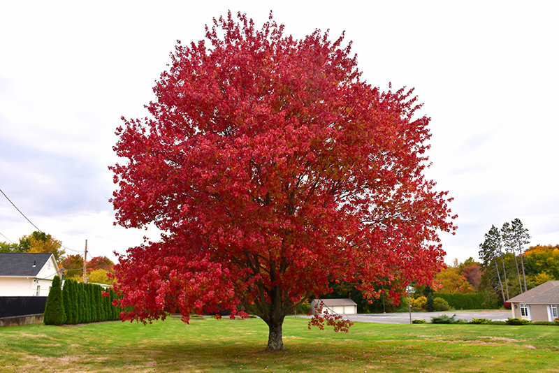 Red Maple (Acer rubrum) at Wolf Hill Home & Garden