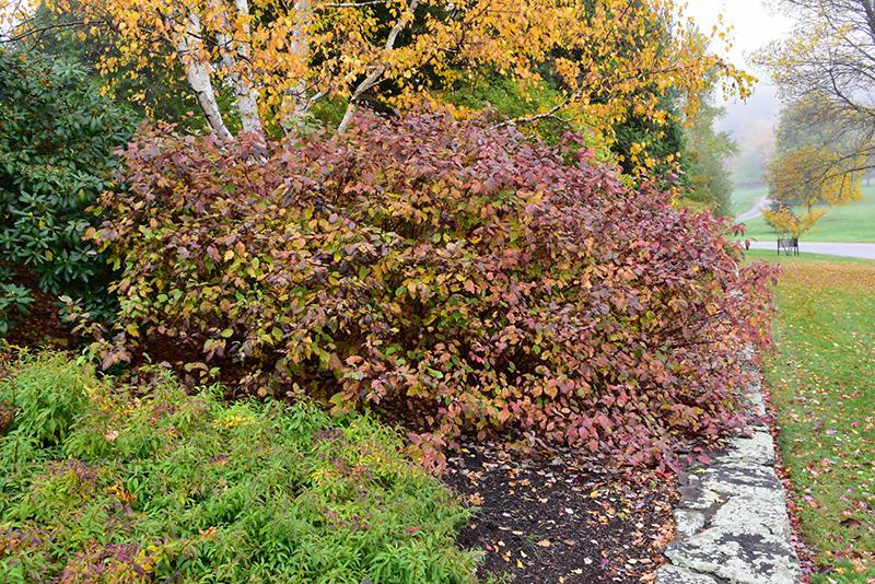 Bailey Red-Twig Dogwood (Cornus baileyi) at Wolf Hill Home & Garden