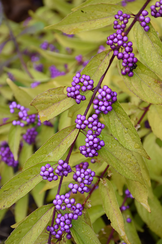 Early Amethyst Beautyberry (Callicarpa dichotoma 'Early Amethyst') at Wolf Hill Home & Garden