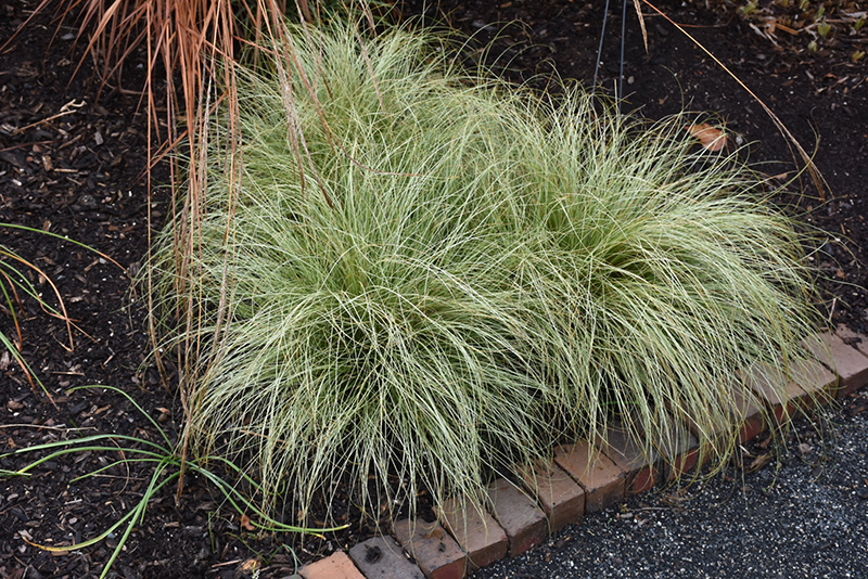 New Zealand Hair Sedge (Carex comans 'Frosted Curls') at Wolf Hill Home & Garden