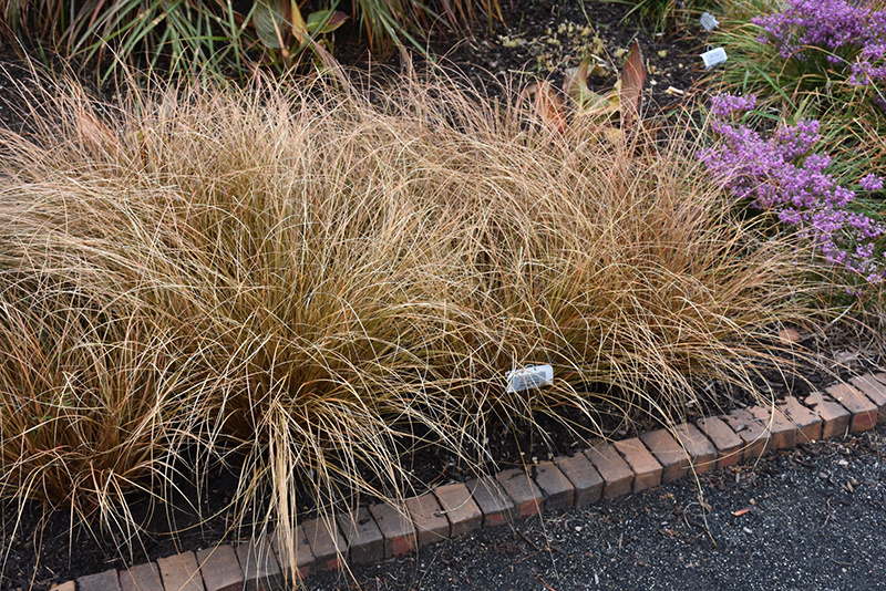Toffee Twist Sedge (Carex flagellata 'Toffee Twist') at Wolf Hill Home & Garden