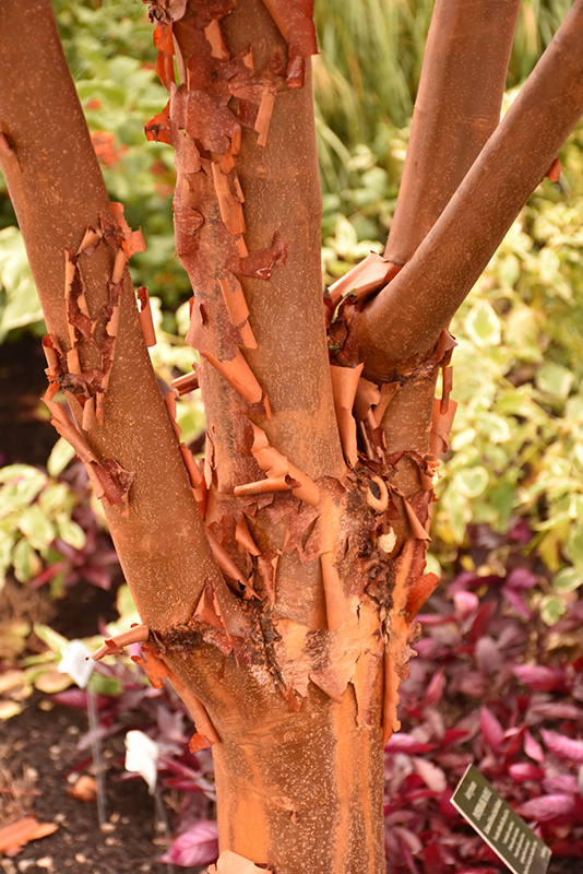 Paperbark Maple (Acer griseum) at Wolf Hill Home & Garden