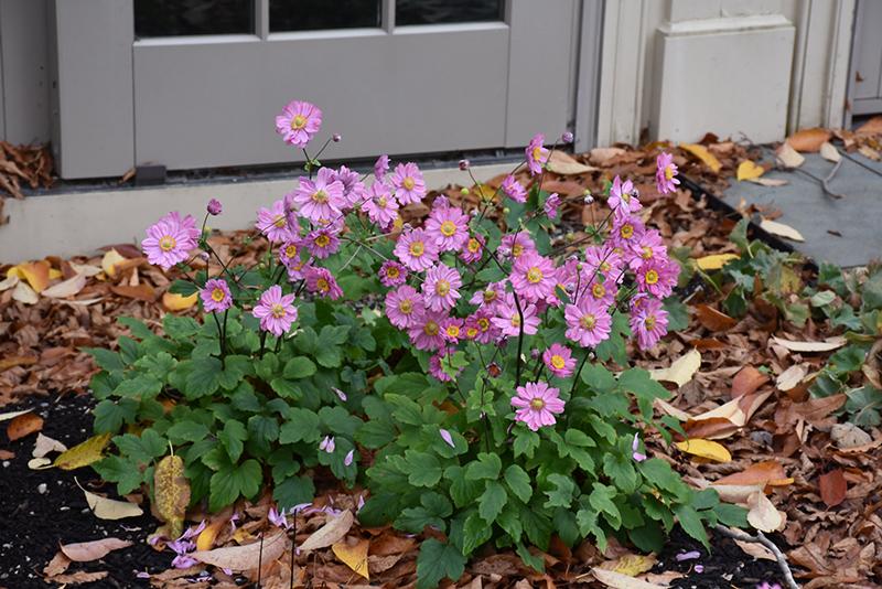 Pamina Anemone (Anemone hupehensis 'Pamina') at Wolf Hill Home & Garden