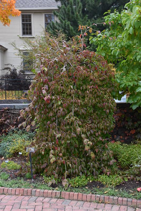 Lustgarten's Weeping Chinese Dogwood (Cornus kousa 'Lustgarten's Weeping') at Wolf Hill Home & Garden